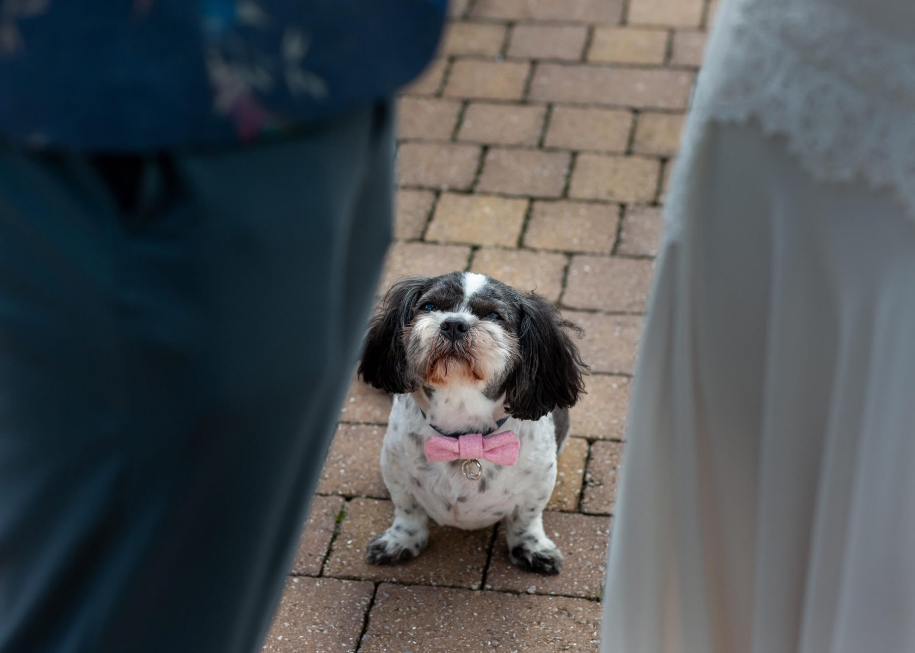 A dog as the ring bearer at a wedding in Cheshire, England.